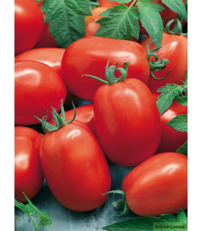 Graines a semer de tomate roma - Comment recuperer des graines de tomates ...