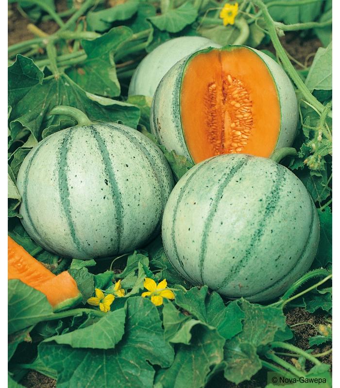Sachet de graines a semer de melon charentais - Culture du melon charentais ...