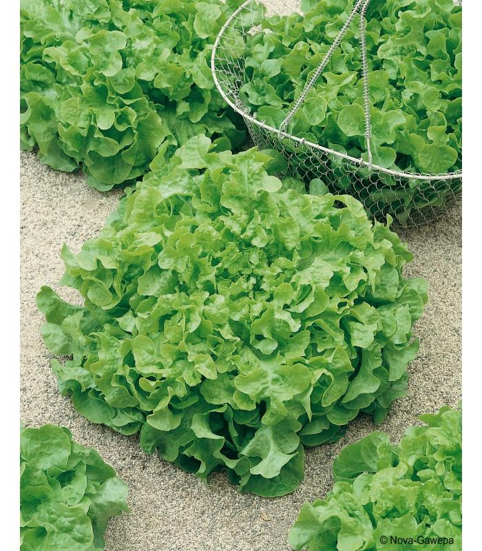 sachet de graines a semer de laitue salad bowl a couper. Black Bedroom Furniture Sets. Home Design Ideas