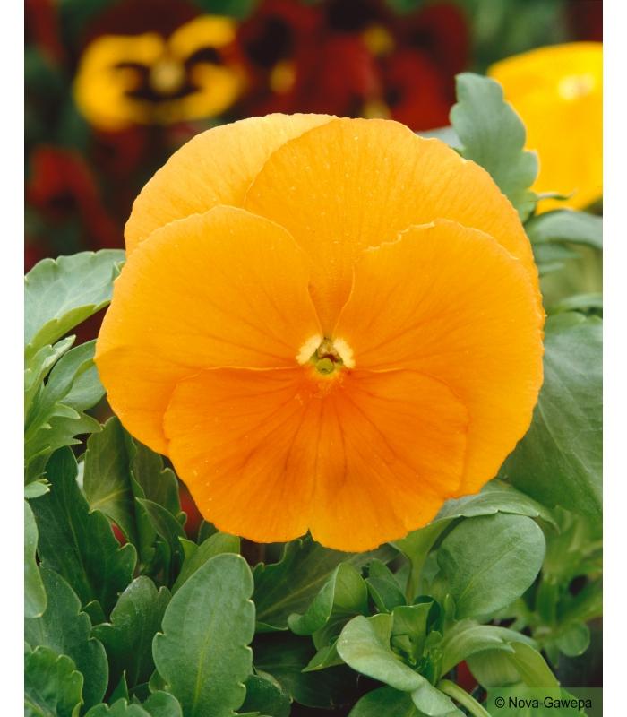 graines a semer de pensee geante suisse soleil orange a fleurs geantes et bien rondes. Black Bedroom Furniture Sets. Home Design Ideas