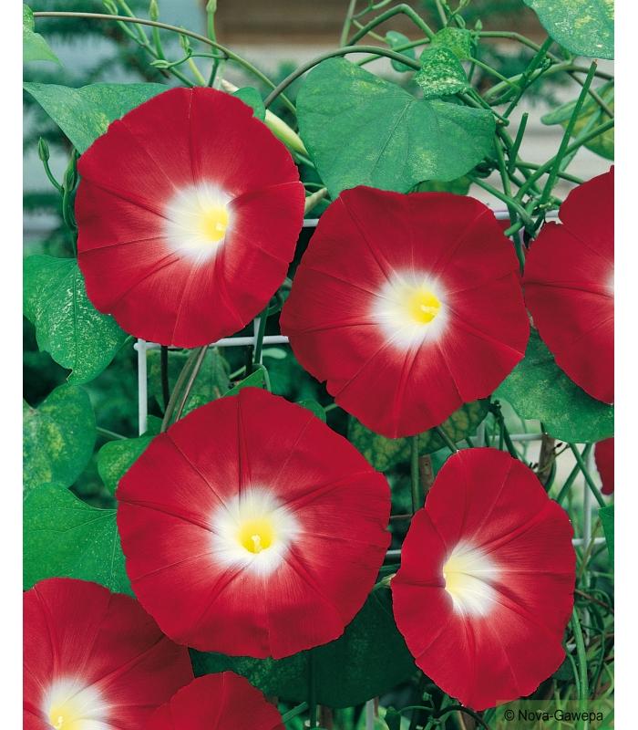 graines a semer d 39 ipomee scarlett o 39 hara a grande fleur rouge. Black Bedroom Furniture Sets. Home Design Ideas