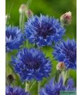 Graines de Centaurée Bleue - Centaurea Cyanus - ©Image protégée téléchargement interdit !