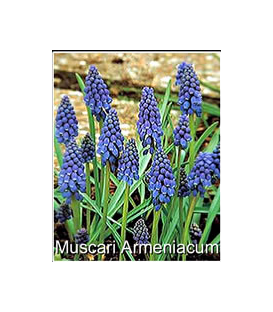 50 Muscaris Armeniacum Bleu