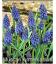 50 Bulbes de Muscaris Armeniacum Bleu
