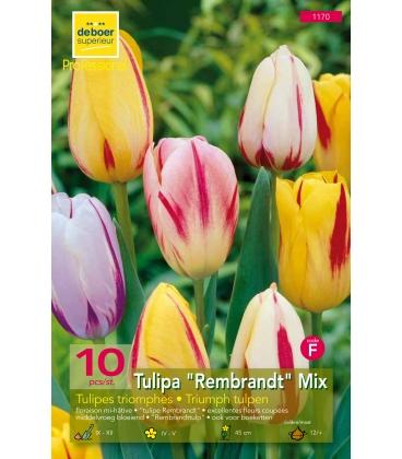 10 Tulipes Triomphe Rembrandt Mix