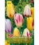 10 Tulipes Triomphe Rembrandt Mix