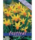 10 Narcisses Botaniques Multiflora Jetfire