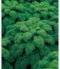 Graines de Chou-Frisé Vert