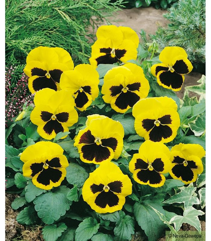 Graines a semer de pensee geante suisse jaune a coeur noir - Fleur au coeur noir ...