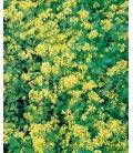 Graines de Moutarde Blanche Valiant - © Image protégée téléchargement interdit !