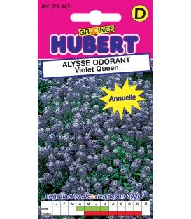 Graines d'Alysse Odorant Violet Queen © Image protégée téléchargement interdit !