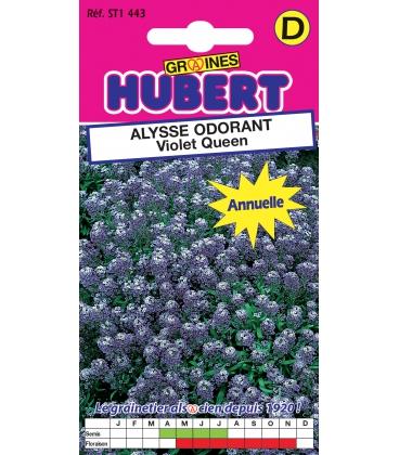 Graines d'Alysse Odorant Violet Queen
