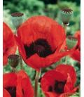 Graines de Coquelicot Pavot d'Orient Rouge © Image protégée téléchargement interdit !