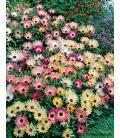 Graines de Ficoïde Tricolore Variée Tapis Magique © Image protégée téléchargement interdit !