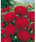 Graines de Reine Marguerite Merveille des Naines Rouge © Image protégée téléchargement interdit !