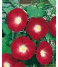 Graines d'Ipomée Scarlett O'Hara - © Image protégée téléchargement interdit !