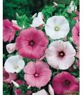 Graines de Lavatère à Grande Fleur Variée © Image protégée téléchargement interdit !