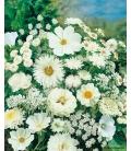 Graines de Fleurs pour Bouquets Blancs - © Image protégée téléchargement interdit !