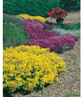 Graines de Fleurs Vivaces Naines Pour Rocailles © Image protégée téléchargement interdit !