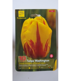 10 Bulbes de Tulipes Washington