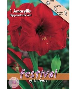 1 Amaryllis Rouge