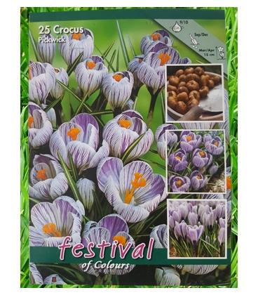 25 Bulbes de Crocus à Grande Fleur Strié Pickwick