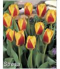 25 Tulipes Botaniques Stresa