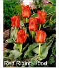 25 Tulipes Botaniques Chaperon Rouge