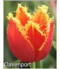 10 Bulbes de Tulipes Frangées Davenport