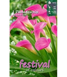 1 Calla - Zantedeschia Rehmannii Cal 14/16