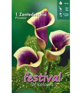 1 Calla - Zantedeschia Picasso Cal 14/16