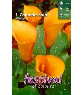 1 Calla - Zantedeschia Mango Cal 14/16