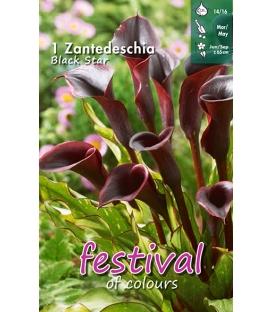 1 Calla - Zantedeschia Black Star Cal 14/16