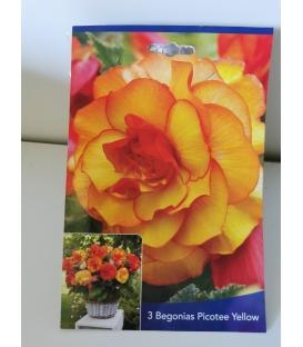 3 Bulbes de Bégonias Grandiflora Picotee Jaune