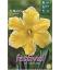 5 Bulbes de Narcisses Cassata