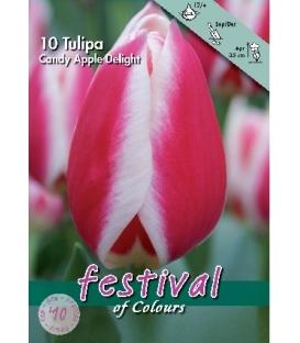 10 Bulbes de Tulipes Candy Apple Delight