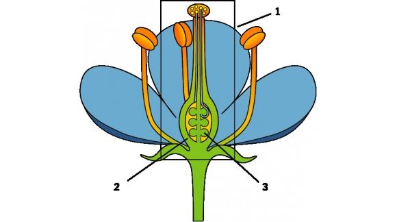 Quelle est la partie de la fleur qui se transforme en fruit ?